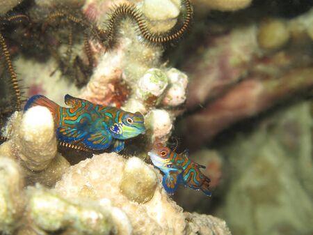 A pair of Mandarinfish or Mandarin dragonet (Synchiropus splendidus) getting ready to mate Stock Photo