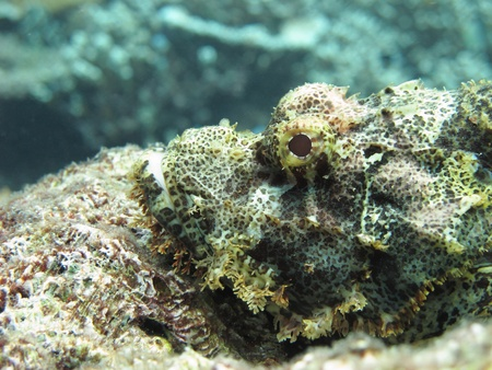 stonefish: A stonefish lies silently, waiting to capture its prey