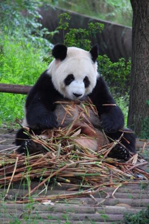 Giant panda (Ailuropoda melanoleuca) with bamboo all over its body