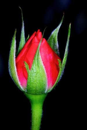 Rode roos bud geïsoleerd op zwarte achtergrond Stockfoto