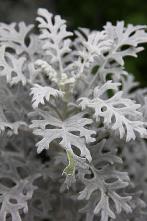 senecio: Dusty Miller Plant (Senecio cineraria) with green leaf showing Stock Photo