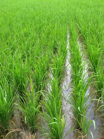 padi: Rice padi field with seedlings Stock Photo