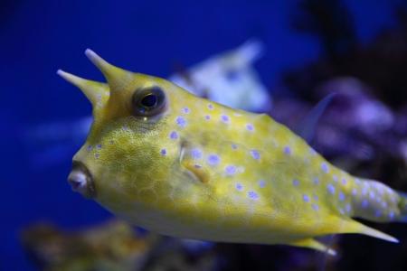 boxfish: Closeup of longhorn cowfish (Lactoria cornuta)
