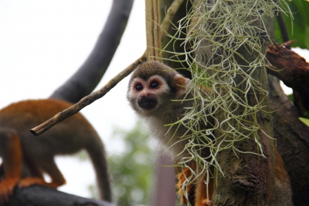 sciureus: Common Squirrel Monkey (Saimiri sciureus) peeking out of its hide