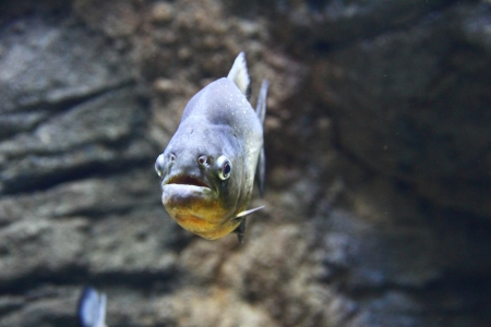 pygocentrus: Closeup view of a Red-Bellied Piranha (Pygocentrus nattered)
