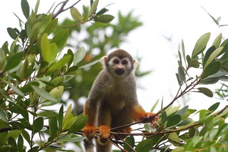 sciureus: Common Squirrel Monkey (Saimiri sciureus) on a branch looking at the camera