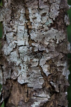 ageing: Ageing bark of a mangrove tree