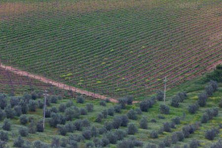 olive groves: A plantation with a vineyard and olive groves in Tuscany