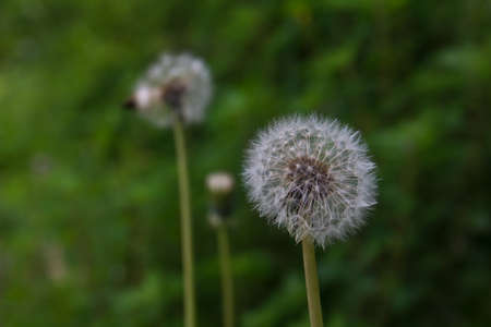 dandelion seed: Dandelion seed heads on green background