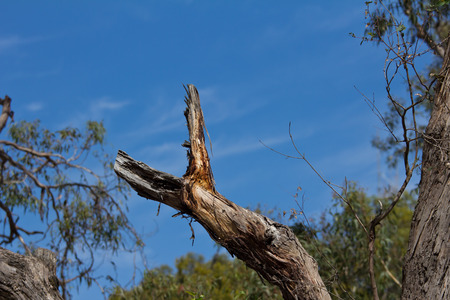 australian outback: Y-shaped tree branch in the Australian outback