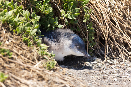 animal den: Little Penguin young in a ground burrow