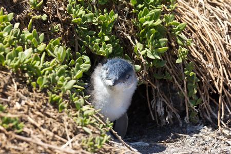 animal den: Juvenile Little Penguin outside its burrow at the Noobies