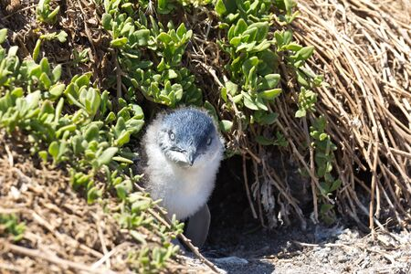 animal den: Juvenile Little Penguin looking at the camera outside its burrow