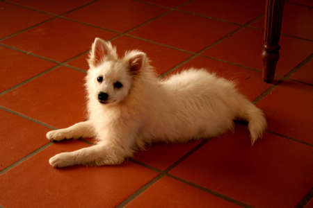 florentine: a volpino italiano, called also cane de quirinale, florentine spitz or italian spitz. Its a small white dog with fluffy hair
