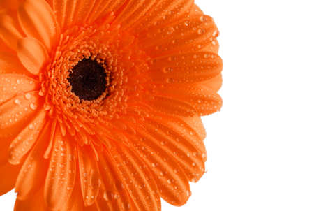 Gerber petals with water drops isolated on white background