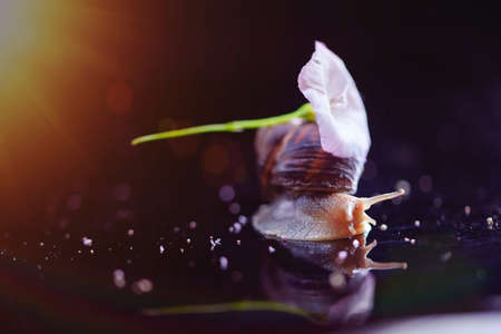 Beautiful snail on a black background, macro photo