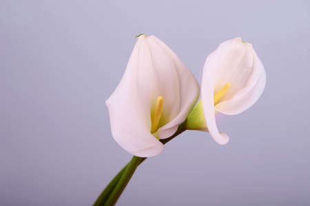 Beautiful flowers - calla on a gray background. Place for inscription. Postcard. celebration.