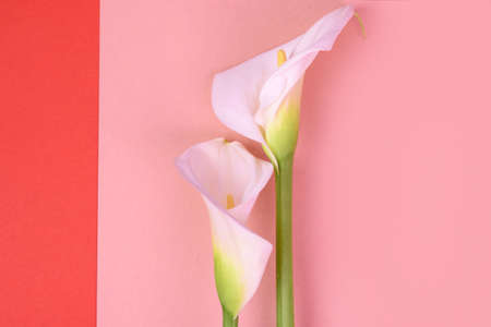 White calla lilies isolated on pink background. Top view Stock Photo