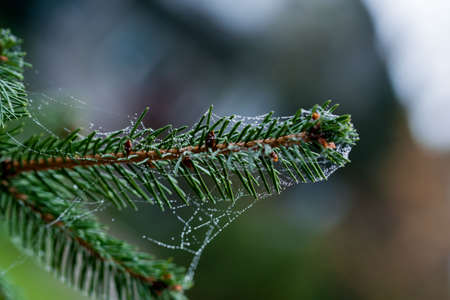 A web with droplets of scatterings on the sprig of pine. When nature wakes up. Banco de Imagens