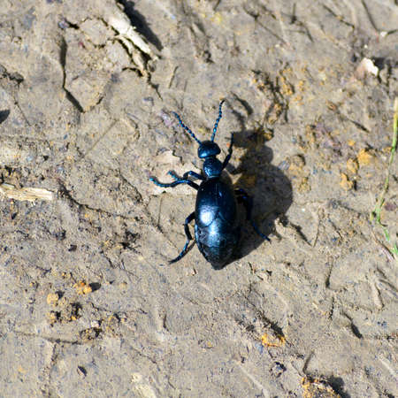 A nice glossy black scarab walking on the ground in the forest