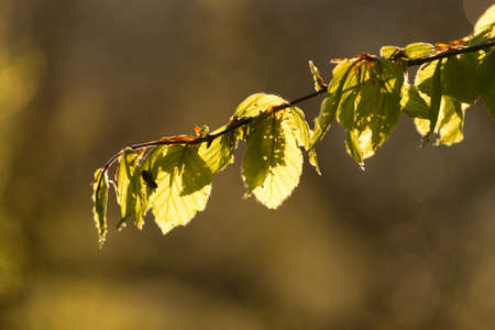 Some beech tree leaves backlit by a warm morning light in the forest