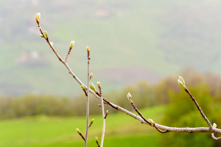 The bud of new leaves on a tree branch