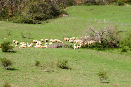 A flock of sheeps in a lawn in the Apennines mountains in Italy