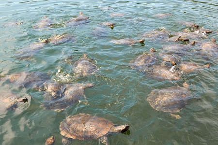 A large number of river turtles appearing out of the surface of the water in a little lake in the Amazonian forest in Brazil