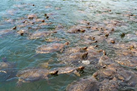 A large number of river turtles appearing out of the surface of the water in a little lake in the Amazonian forest in Brazil Stock Photo