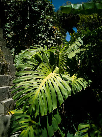 The big wide leaves of a monstera plant