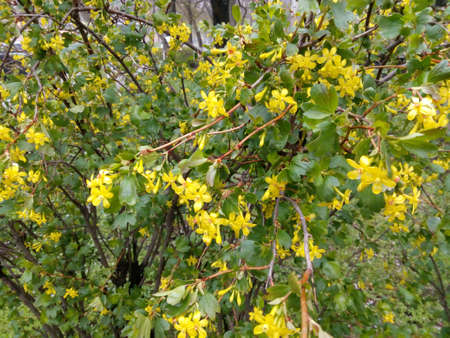 Spring bush studded with small yellow flowers among green leaves spring bush studded with small yellow flowers among green leaves stock photo 68942962 mightylinksfo