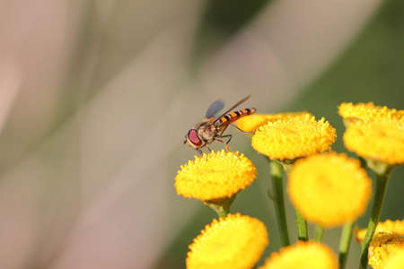 Flower fly or hoverfly pollinating yellow flowers. Macro close up shot. Stock Photo