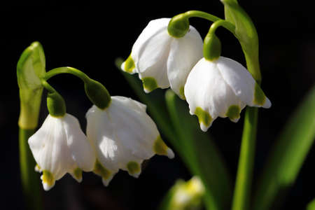 Lily of the valley, close up - Macro.
