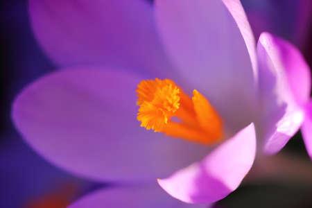 Close up of a purple Crocus. Macro. Standard-Bild