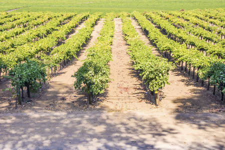 napa valley: Vine Field near Napa Valley, California, USA Stock Photo