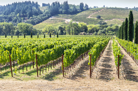 Vineyard in the hilly Napa Valley area, California, USA