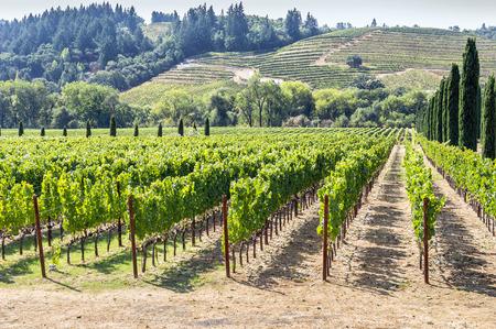 Wijngaard in het heuvelachtige Napa Valley gebied, California, USA