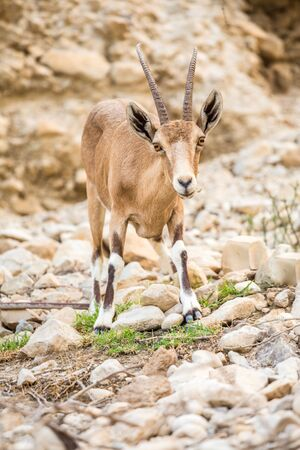 capra: Young wild goat (Capra) in Ein Gedi Nature Reserve, Israel Stock Photo