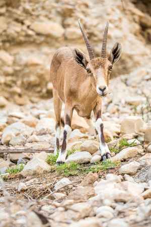 ein: Young wild goat (Capra) in Ein Gedi Nature Reserve, Israel Stock Photo