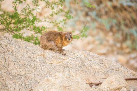 gedi: Rock Hyrax in Ein Gedi National Reserve, Israel, Middle East Stock Photo
