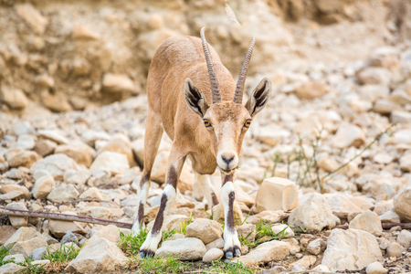 nature reserves of israel: Young wild goat (Capra) in Ein Gedi Nature Reserve, Israel Stock Photo