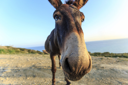 ass standing: Wild donkey in eastern peninsula of Northern Cyprus