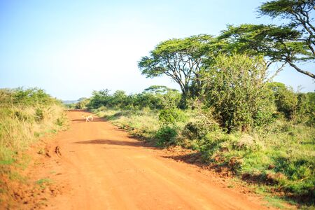 nairobi: Impala antelope crossing an african dirt, red road through savanna, Kenya, East Africa