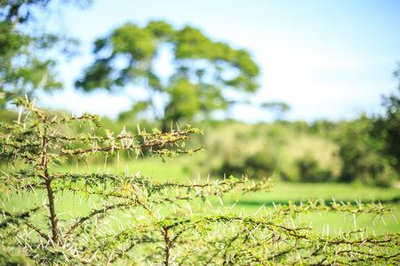 Close up of small thorny acacia tree, Africa