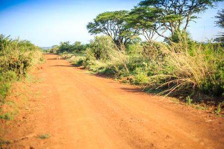 Impala-Antilope überquert einen afrikanischen Dreck, rote Straße durch Savanne, Kenia, Ostafrika Standard-Bild - 71796395