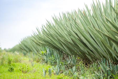 sisal: Big sisal plantation in eastern part of Kenya, Africa