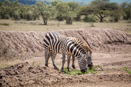 grassing: Wild zebras grassing on savanna, Kenya, East Africa