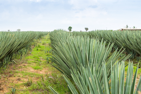 Big sisal plantation in eastern part of Kenya, Africa