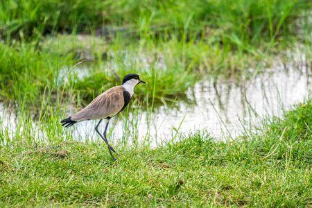 spur winged: Spurwing at Lake Jipe in Tsavo West National Park, Kenya