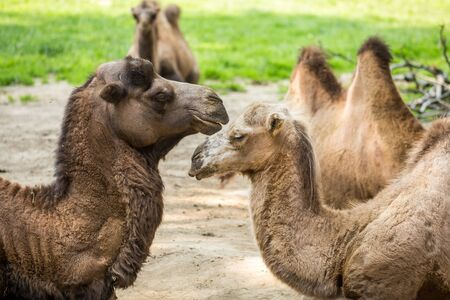 Close up of two camels falling in love Stock Photo